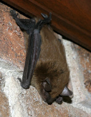 Big Brown Bat perched on chimney by Cotinis